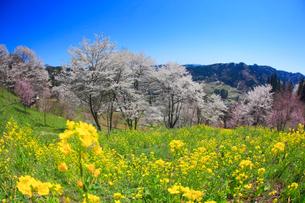 ソメイヨシノなどの桜と菜の花の写真素材 [FYI02659528]