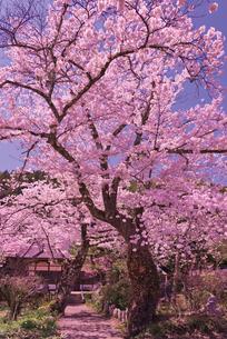 青空に音昌寺の桜の写真素材 [FYI02659542]