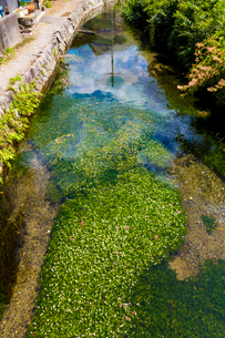 醒ヶ井の梅花藻の写真素材 [FYI02659750]