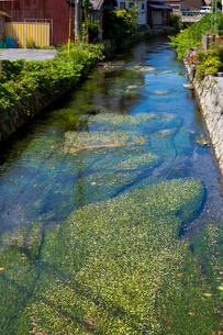 醒ヶ井の梅花藻の写真素材 [FYI02659811]
