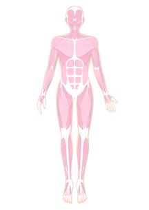 人体の筋肉イラスト・肌色のイラスト素材 [FYI02659997]