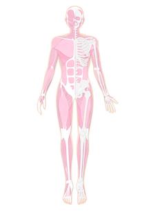 半分だけ骨格が見えている人体の筋肉イラスト・肌色のイラスト素材 [FYI02660074]