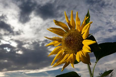 夏の終わりのひまわりの写真素材 [FYI02660555]