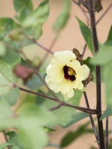 ワタの花の写真素材 [FYI02660602]