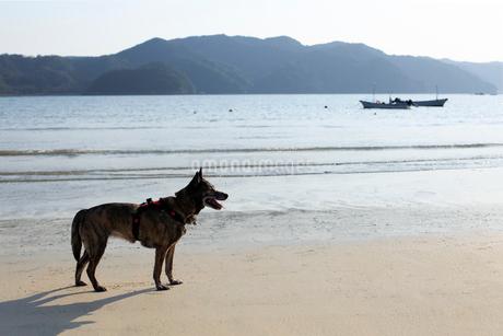 海辺でくつろぐ犬の写真素材 [FYI02660899]