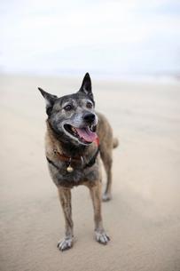 浜辺で飼い主の指示を待つ犬の写真素材 [FYI02661117]