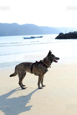 海辺でくつろぐ犬の写真素材 [FYI02661118]