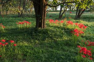 滋賀県 桂浜園地の彼岸花の写真素材 [FYI02661142]