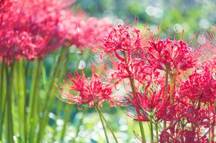 滋賀県 桂浜園地の彼岸花の写真素材 [FYI02661147]