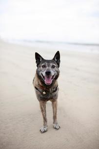 浜辺で飼い主の指示を待つ犬の写真素材 [FYI02661177]