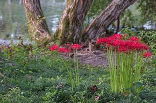 滋賀県 桂浜園地の彼岸花の写真素材 [FYI02661196]