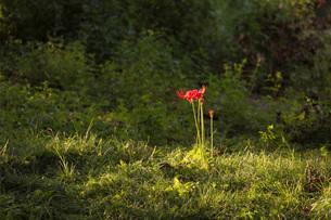 滋賀県 桂浜園地の彼岸花の写真素材 [FYI02661333]