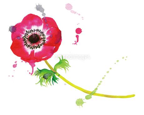 赤いアネモネの花と水彩のあしらいのイラスト素材 [FYI02661429]