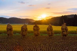 収穫期の田んぼに立つほんにょの写真素材 [FYI02661765]