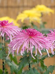 菊の花の写真素材 [FYI02661832]