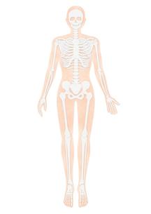 人体の骨格イラスト・肌色のイラスト素材 [FYI02661855]