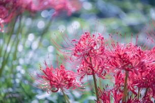 滋賀県 桂浜園地の彼岸花の写真素材 [FYI02661999]