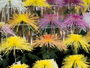 菊の花の写真素材 [FYI02662045]