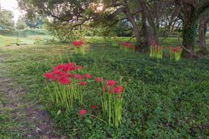 滋賀県 桂浜園地の彼岸花の写真素材 [FYI02662087]