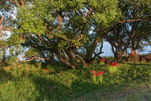 滋賀県 桂浜園地の彼岸花の写真素材 [FYI02662120]