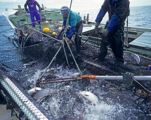 サケ定置網漁の写真素材 [FYI02662226]
