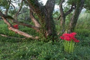 滋賀県 桂浜園地の彼岸花の写真素材 [FYI02662507]