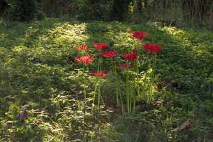 滋賀県 桂浜園地の彼岸花の写真素材 [FYI02662526]