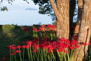 滋賀県 桂浜園地の彼岸花の写真素材 [FYI02662561]