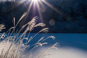 朝の光を浴びる中牧湖のススキの写真素材 [FYI02662571]