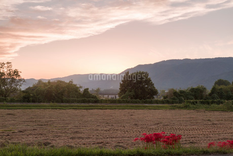 滋賀県 桂浜園地付近の彼岸花の写真素材 [FYI02662828]