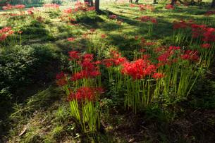 滋賀県 桂浜園地の彼岸花の写真素材 [FYI02662843]