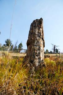 イエローストーン国立公園のルーズベルトカントリーの珪花木の写真素材 [FYI02663204]