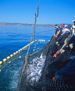 サケ定置網漁の写真素材 [FYI02663286]
