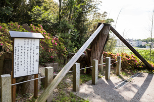 源義朝を殺害した長田父子をはりつけにした松の写真素材 [FYI02664452]