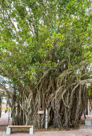 佐多岬展望公園の巨大なガジュマルの木の写真素材 [FYI02664648]