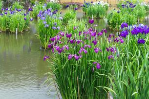太宰府天満宮菖蒲池に咲くハナショウブの写真素材 [FYI02664901]
