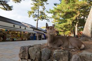 お土産物屋と鹿の写真素材 [FYI02664965]