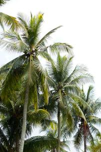 ウビン島 立ち並ぶ椰子の木の写真素材 [FYI02664983]