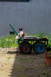 台車の上の黒白猫の写真素材 [FYI02665107]