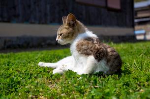 草の上でのんびりと座る猫の写真素材 [FYI02665195]