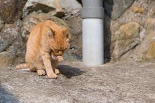 毛づくろいをするチャトラ猫の写真素材 [FYI02665216]