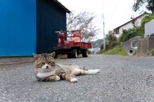アスファルトで横たわるキジ白猫の写真素材 [FYI02665362]