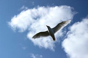 アラスカ 北極圏の空を舞うカモメの写真素材 [FYI02665368]