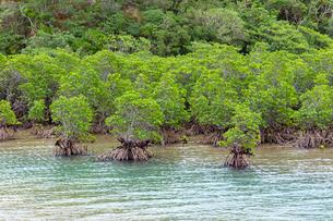西表島,西表自然休養林の写真素材 [FYI02665475]