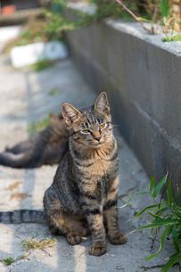 日向で座るキジトラ猫の写真素材 [FYI02665575]