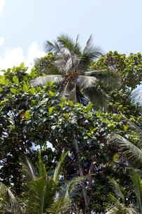 ウビン島 ドリアンの木と椰子の木の写真素材 [FYI02665590]