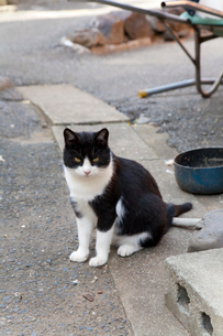 相島の黒白猫の写真素材 [FYI02665651]