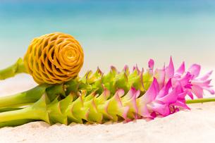沖縄 クルクマとジンジャーの生花の写真素材 [FYI02665708]
