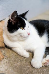 横になる黒白猫の写真素材 [FYI02665765]