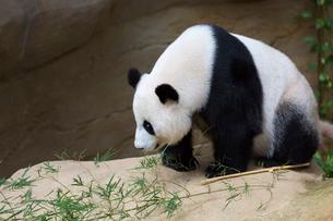 パンダの写真素材 [FYI02665816]